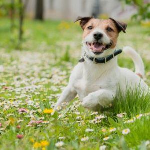 Dog Heartworm