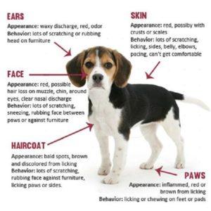 Dog Allergic Dermatitis